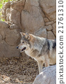 Mexican Gray Wolf 21761310