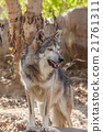 Mexican Gray Wolf 21761311