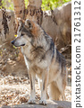 Mexican Gray Wolf 21761312