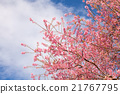 Branch with pink sakura blossoms. 21767795