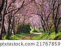 pink sakura blossoms on dirt road in thailand 21767859
