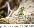 Lizard 21768309