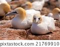 northern gannet sitting on the nest 21769910