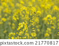 菜の花とミツバチ 21770817