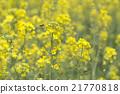 flower, flowers, rape 21770818