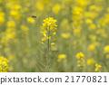 flower, flowers, rape 21770821