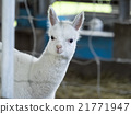 羊駝 哺乳動物 家畜 21771947