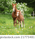 Beautiful mare running with foal 21773481