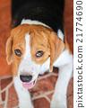 beagle dog 21774690