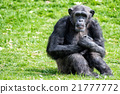 Ape chimpanzee monkey while resting 21777772