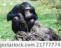 Ape chimpanzee monkey while resting 21777774