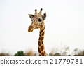 giraffe, head, neck 21779781