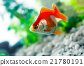 goldfish sucks a rocks in the aquarium 21780191
