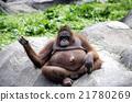 orangutan 21780269