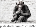 blue eyes chimpanzee monkey in b&w 21787692