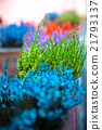 grows and blooms colorful lavender 21793137
