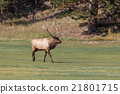 Bull Elk in Fall 21801715