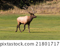 Bull Elk in Fall 21801717