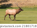 Bull Elk in Fall 21801718