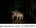 Cute piglets at the farm 21805663