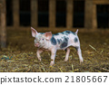 Cute piglet at the farm 21805667