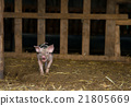 Cute piglet at the farm 21805669