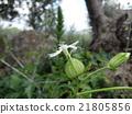 Sicily's White Campion · Part 2 21805856