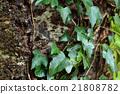 常春藤 植物 植物學 21808782