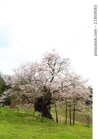 나가사와 사쿠라 ~ 2016 봄 21809083