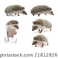 hedgehog isolated on white background 21812826