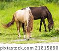 Horse in field 21815890