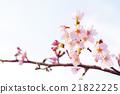 樱花 樱桃树 吉野樱花树 21822225
