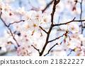 樱花 樱桃树 吉野樱花树 21822227