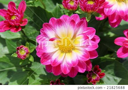 화려한 미니다리아 꽃 21825688