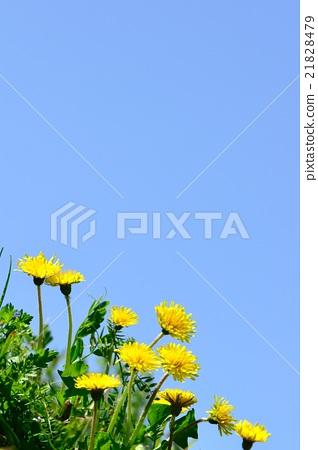 春天的领域在开花的蒲公英图象的 21828479