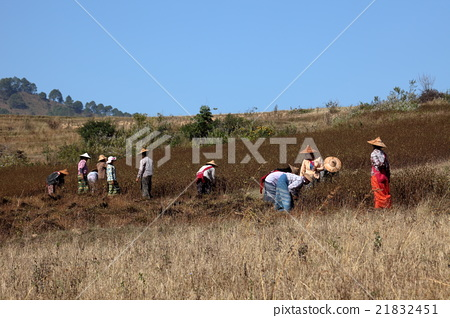 Harvesting and farming in Myanmar 21832451