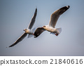 Brown-headed gull flying in the sky 21840616