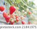 草莓 水果 温室 21841975