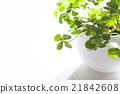 四葉 盆栽 植物 21842608