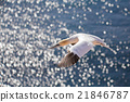 flying northern gannet, Helgoland Germany 21846787