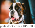 beautiful, boxer, dog 21850783