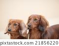 臘腸犬 狗狗 狗 21856220