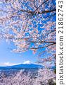 富士和櫻花盛開 21862743