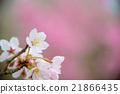 ดอกไม้,ดอกซากุระบาน,ซากุระบาน 21866435