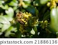 Honeybee on yellow flowers closeup 21886136