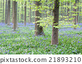 beautiful bluebell flowers in the forest 21893210