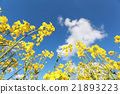 rapeseed flower over blue sky 21893223