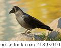 烏鴉 禽 鳥 21895010