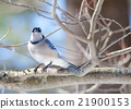 Blue Jay (Cyanocitta cristata) in early springtime 21900153