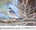 Blue Jay (Cyanocitta cristata) in early springtime 21900153